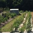 わた栽培*無農薬はギブアップ