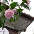 1輪、2輪と生き残りの椿の花、剪定にもめげず。
