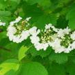 [#3784] カンボク(1)数個の花