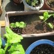 ストックとハナナ60cmポットに植える
