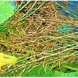 ブロッコリー の 自家採種