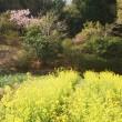 2018、4、13 農園を取り巻く花たち