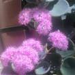 【ミセバヤ (見せばや)】Hylotelephium sieboldii ベンケイソウ科  花色ピンク色の多肉植物
