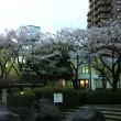 団地の桜が満開 雨の止み間に家内とお花見