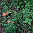 軽井沢山荘の庭に咲く8月前半の花