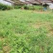 2017年7月29日 ナスをカーサポートミライさんへ出荷しました。キンコウリの初収穫です。