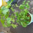 ブラックカシスの挿し木苗を定植