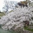 あちこち桜