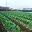 トウモロコシのユーラック撤去