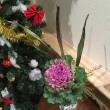 今週の花 クリスマスですねえ