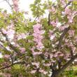 ♪♪ 近所の八重桜が。。。