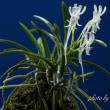 過去開花の富貴蘭「大雪虎」の花
