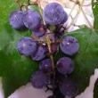 我が家の庭の「葡萄」さんです。