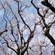 東京都立小金井公園の2018年梅林・・咲き始め