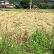 古代小麦の麦刈り終了しました。