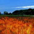 赤米と五十の塔