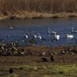 ガバ沼・多々良沼の白鳥2019(その3)