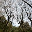 幻の細谷川の桜
