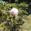桜が見頃を過ぎたと思ったら早くも牡丹が咲いた