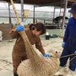 羊の毛刈り最終日
