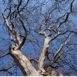 スズカケの木