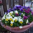 庭にも春の花