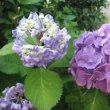 紫陽花 ・・・