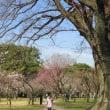 京都御苑の梅 2019.3.9