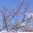 カワヅザクラ 〈河津桜〉 開花が進む