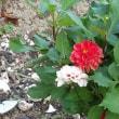 今ごろの畑の花