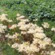 白花ヒガンバナ