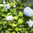 梅雨の花、紫陽花を探し求めて