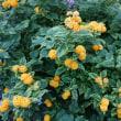 斑入り黄花ランタナ