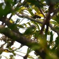 野鳥の好きな木の実 カラスザンショウ