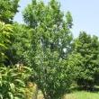 Prunus persica ❛Terute Hime❜