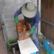 ミツバチ巣箱から採蜜する