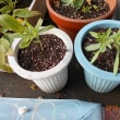 ガイラルディア 3種類の苗が共演