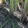 田んぼの中に米ではないモノあり