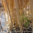 ホウレン草の種まきしました。