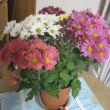 菊の寄せ植え鉢