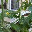 ◆トマトの花が咲きました。