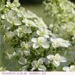 カシワバアジサイ 〈柏葉紫陽花〉 弁天ふれあいの森公園
