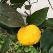 日向あり柚子の実のひとつ輝きぬ