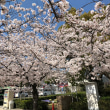 桜(^。^)
