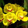 様々なラン科の花々 咲くやこの花館熱帯雨林植物ゾーン