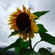 ほっとけ農場の向日葵