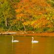 屈斜路湖に白鳥飛来・・。