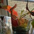 ネペンテス栽培記 455 ネペンテス栽培のシンギュラリティ 番外編 結局、袋に水を入れた方がいいのか 本編