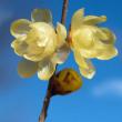 ロウバイの花が咲く頃(Ⅲ)