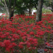 「得月池」の彼岸花が美しい・岐阜市「大智寺」へ